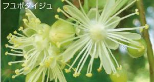 フユボダイジュの花